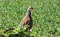 Perdiz roja (Alectoris rufa) - 50404586503.jpg