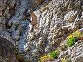 Peregrine falcon approaching-20200411-RM-164346.jpg