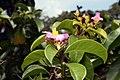 Pereskia grandifolia 28zz.jpg