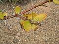 Pereskia lychnidiflora foliage.jpg