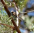 Persephone's Darner. (Aeschnidae) - Flickr - gailhampshire.jpg