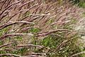 Peru - Salkantay Trek 139 - colourful grasses (7344118996).jpg