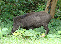 PeterMaas-India-MudumalaiNationalPark-WildBoar2.jpg
