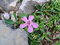 Petrocoptis-crassifolia.jpg
