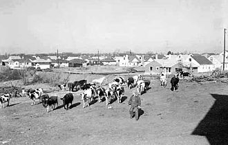 View of housing development in Richfield, Minnesota in 1954 Pf006593-suburbs with cows.jpg