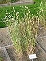 Phalaris canariensis - Oslo botanical garden - IMG 8883.jpg