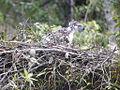 Philippine Eagle nestling.jpg