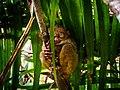 Phillipine Tarsier from Philppine Tarsier Sanctuary, Corella, Bohol.jpg