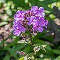 Phlox paniculata 'Blue Paradise' in Jardin des 5 sens (1).jpg