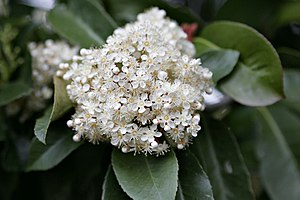 Photinia flower.jpg