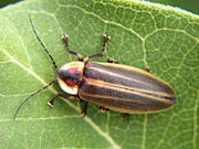 """Adult """"Firefly"""" or """"Lightning Bug"""" – a Crepuscular Beetle Photuris lucicrescens"""