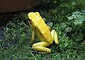 Phyllobates terribilis ZOO Lodz.jpg