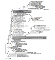 Phylogenetic tree 1.png