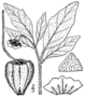 Physalis pumila BB-1913.png
