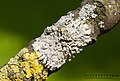 Physcia stellaris together with Xanthoria parietina - on a branch of an ash tree - Fraxinus excelsior - 01.jpg