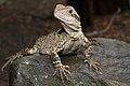 Physignathus lesueurii -Australia Zoo, Queensland, Australia-8a.jpg