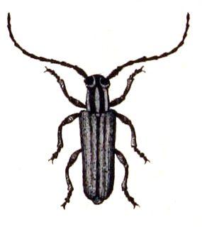 <i>Phytoecia</i> genus of insects