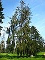 Picea abies 'cranstonii'.jpg