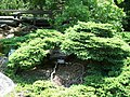 Picea abies birdnest MN 2007.JPG
