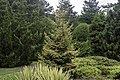 Picea orientalis NBG LR.jpg