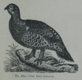 Picture Natural History - No 162 - The Red Grouse.png