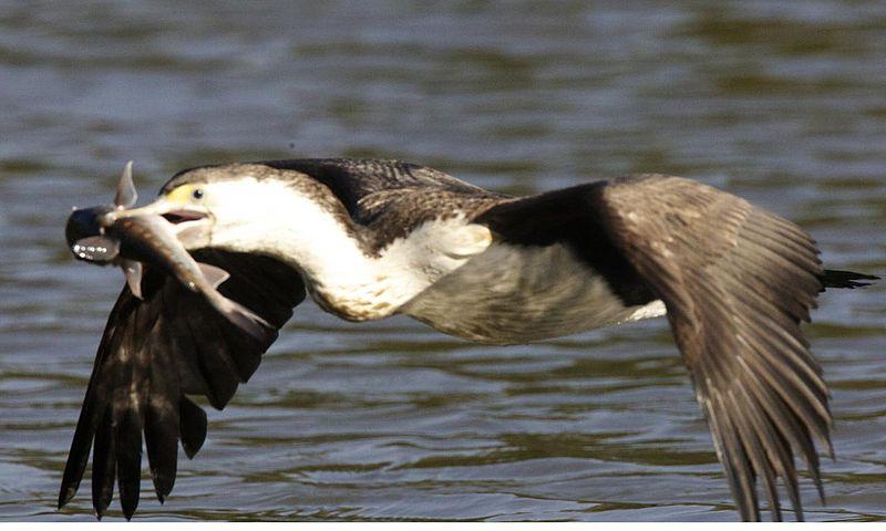 File:Pied Cormorant ( Phalacrocorax varius) - Flickr - Lip Kee.jpg