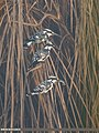 Pied Kingfisher (Ceryle rudis) (33050589656).jpg
