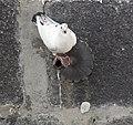 Pigeon (5492094047).jpg