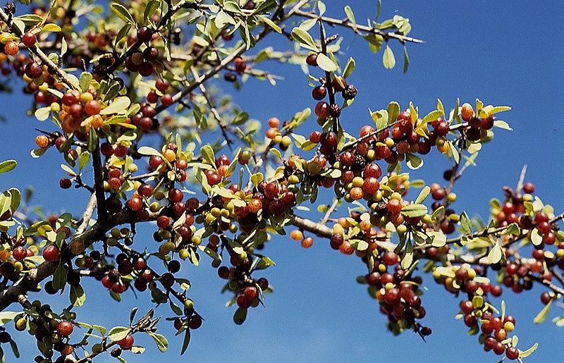 פירות אשחר ארץ ישראלי