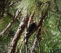 Pileated Woodpecker, adult male. Dryocopus pileatus (38632881561).jpg