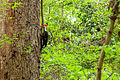 Pileated woodpecker (24663027379).jpg