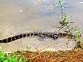 Pinckney Island National Wildlife Refuge (5957939345).jpg