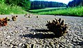 Pine cone - Flickr - Stiller Beobachter.jpg