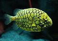Pinecone fish.jpg