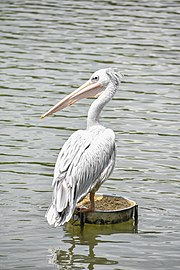 Pink-backed pelican 2.jpg