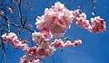 Pink double cherry blossoms in Torp 6.jpg