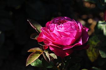 Pink rose aus Rosarium.JPG
