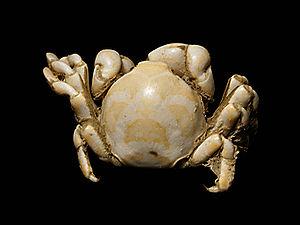 Pea crab - Pinnotheres pisum ♂