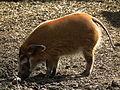 Pinselohrschwein weiblich Zoo Landau.JPG