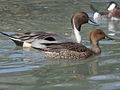 Pintail, Northern 04.jpg