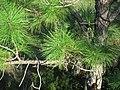 Pinus elliottii (slash pine) (Fort Myers, Florida, USA) 2 (25679500302).jpg