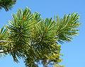Pinus flexilis 2.jpg
