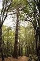 Pinus pinaster JPG1.jpg