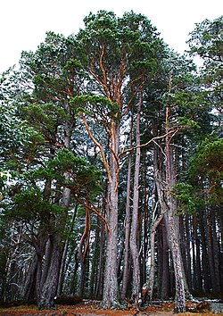 Pinus sylvestris Nethybridge.jpg