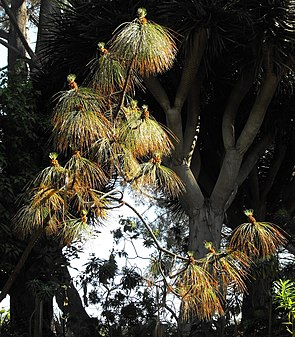 Pinusmontezumae.JPG