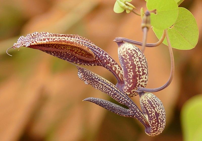 Tình yêu cây cỏ ĐV2 - Page 4 800px-Pipe_Vine_%28Aristolochia_esperanzae%29_%2828166650411%29