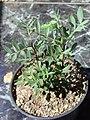 Pistacia lentiscus2.jpg