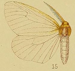Pl.38-15-Olapa fulviceps Hampson, 1910.JPG