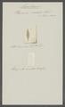 Planaria viridata - - Print - Iconographia Zoologica - Special Collections University of Amsterdam - UBAINV0274 105 05 0004.tif