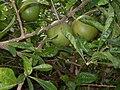 Planta de Mexico.JPG